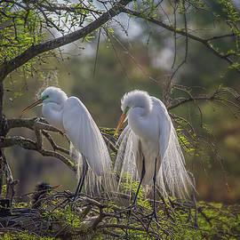 Nesting Great Egrets by Steve Rich
