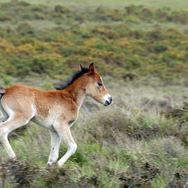 New forest pony foal running by Loren Dowding