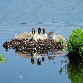 New Generation of Mute Swans by Lyuba Filatova