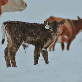 Newborn Calf in the Snow by Riley Bradford
