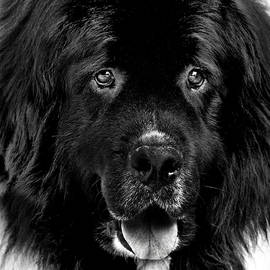 Newfoundland Dog Portrait by Laurie Minor