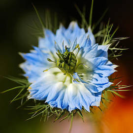 Nigella Flower Opened by Joy Watson