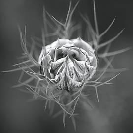 Nigella Flower Round Bud  by Joy Watson