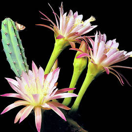 Night Blooming Peruvian Cereus With Moth by Douglas Taylor