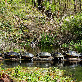 Nine Turtles on Log by Sally Weigand