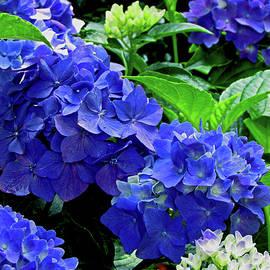 No Stranger Hydrangea by Gardening Perfection