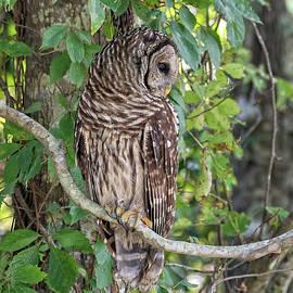 Northern Barred Owl by Fon Denton