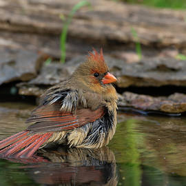 Northern Cardinal - 9525 by Jerry Owens