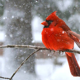 Northern Cardinal in Winter Snow by Dianne Sherrill