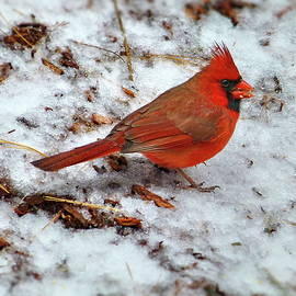 Northern Cardinal or Redbird by Lyuba Filatova