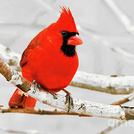 Northern Cardinal Perched in Snow by Regina Geoghan