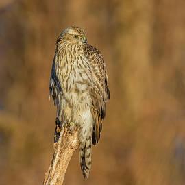 Northern Goshawk's Morning Hunt by Morris Finkelstein