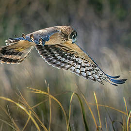 Northern Harrier 2 by Morey Gers