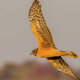 Northern Harrier Flight #5 by Morris Finkelstein