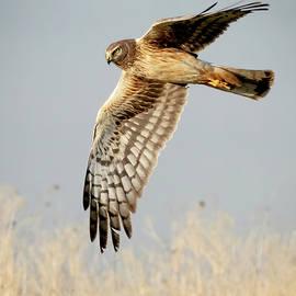 Northern Harrier on the Hunt by Judi Dressler