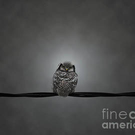 Northern Hawk-owl Turns Head