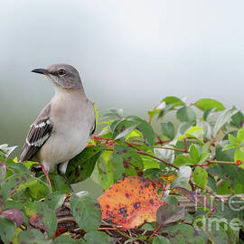 Northern Mockenbird by Nicole Markmann Nelson