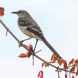 Northern Mockingbird in Spring by Donna Kaluzniak