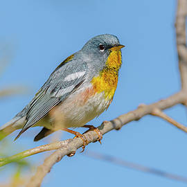 Northern Parula Perched by Morris Finkelstein