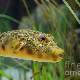 Northern Pufferfish by Linda Howes