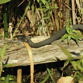 Northern Watersnake Basking on Log by Dennis Lundell