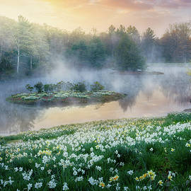 Northfield Daffodils Foggy Morning by Bill Wakeley