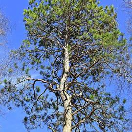 Majestic Ancient Norway Pine by Ann Brown
