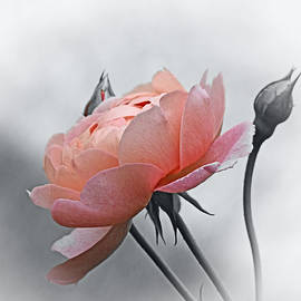 Not Just Any Rose in selective by Carmen Macuga