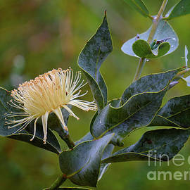 Nullarbor Lime Flower by Neil Maclachlan