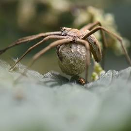 Nursery Web Spider With Young  by Neil R Finlay