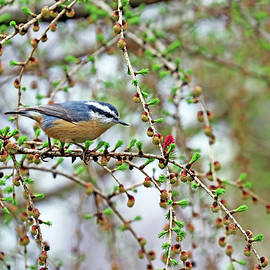 Nuthatch In The Tamarack by Debbie Oppermann
