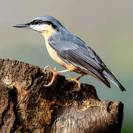 Nuthatch by John Fotheringham
