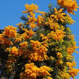 Nuytsia floribunda by Lesley Evered
