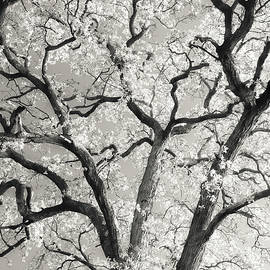 Oak Boughs by Scott Rackers