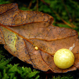 Oak leaf with gall. by Bill Lee