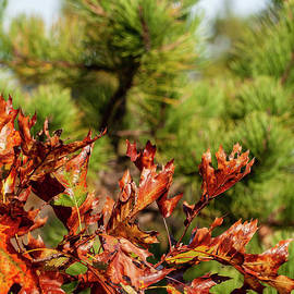 Oak Leaves by Ruth H Curtis
