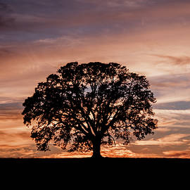 Oak Tree at Sunset by Gary Geddes