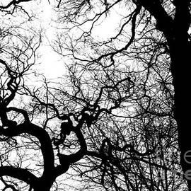 Oaks in early Spring, York 1, monochrome by Paul Boizot