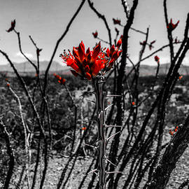 Ocotillo Pop by Austin Davis