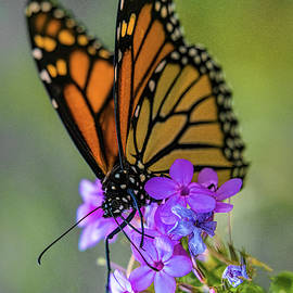 October Monarch by Chris Lord