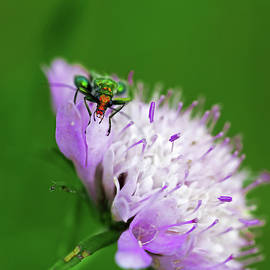 Oedemera nobilis -- Wonders of nature 4 - Insects of Catalonia, Spain by ParaKrytous P