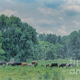 Ohio Cows on a Foggy Morning by Janice Pariza