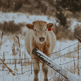 Old Fence, Young Calf