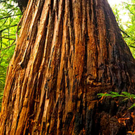 Old Growth Redwood Tree by Christina Ford