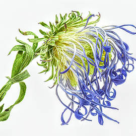 Old Purple Aster by Sandi Kroll