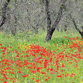 Olive trees in a poppy field Tuscany by Alex Donnelly