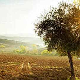 Olive trees panoramic, Val D'Orcia, Tuscany, Italy by Justin Foulkes
