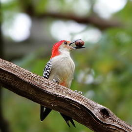Omnivorous Red-bellied Woodpecker by Lyuba Filatova