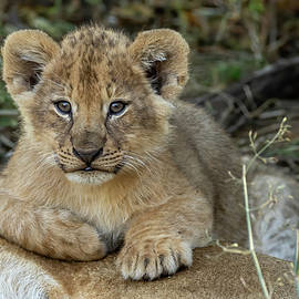 One Of Three Cubs by MaryJane Sesto