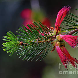 One-sided Bottlebrush by Neil Maclachlan